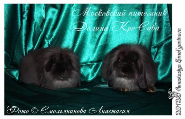 карликовые кролики: баран львиноголовый сепия