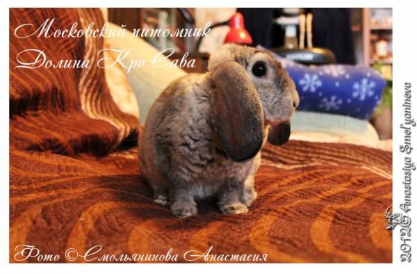 карликовые кролики: баран рекс шиншилловый
