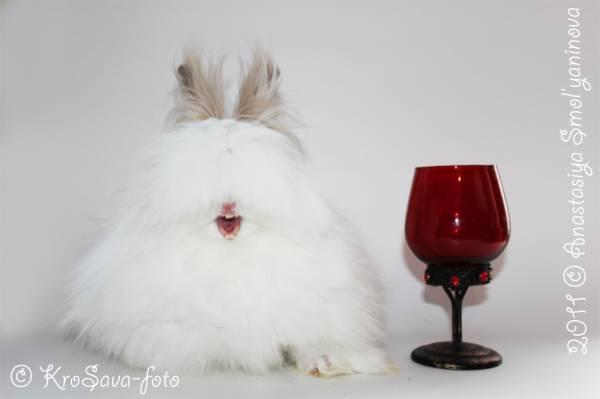 карликовые кролики: АНГОРСКИЕ КАРЛИКОВЫЕ КРОЛИКИ