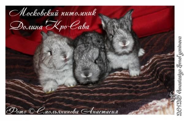 карликовые кролики: цветной карлик