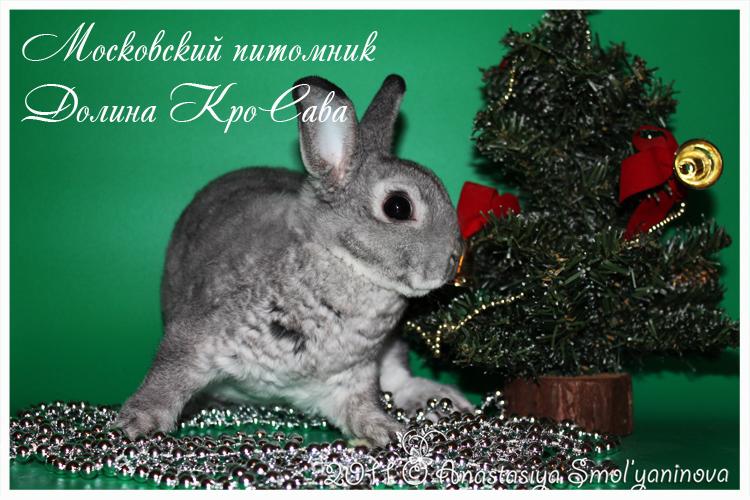 карликовые кролики: карликовый рекс окрас шиншилловый