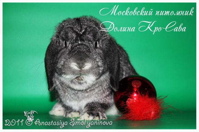 карликовые кролики: карликовый лисий, окрас опал